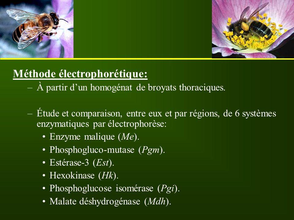 Méthode électrophorétique: –À partir d'un homogénat de broyats thoraciques. –Étude et comparaison, entre eux et par régions, de 6 systèmes enzymatique