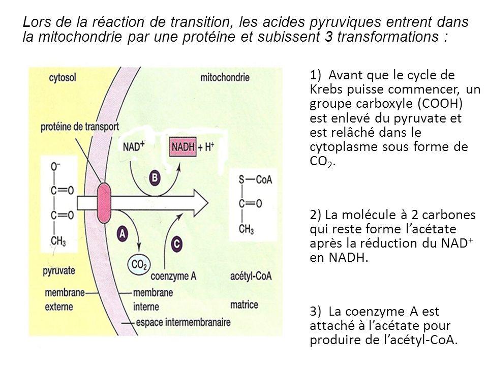 1) Avant que le cycle de Krebs puisse commencer, un groupe carboxyle (COOH) est enlevé du pyruvate et est relâché dans le cytoplasme sous forme de CO