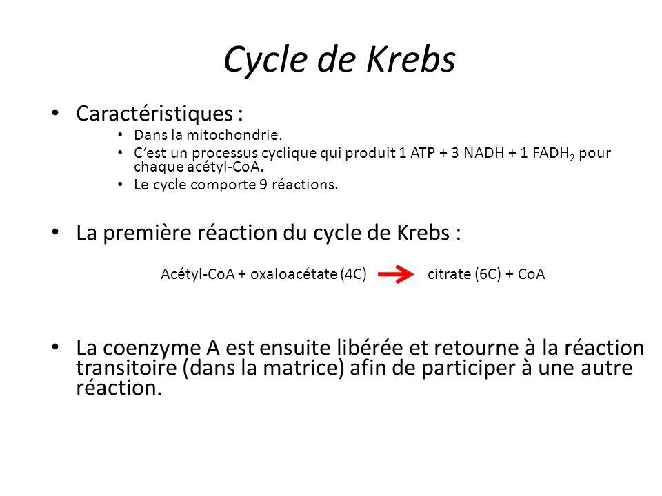 Cycle de Krebs Caractéristiques : Dans la mitochondrie. C'est un processus cyclique qui produit 1 ATP + 3 NADH + 1 FADH 2 pour chaque acétyl-CoA. Le c