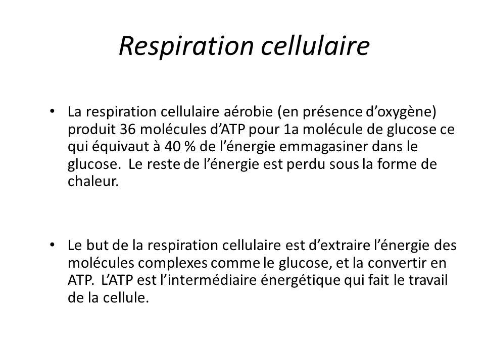 Respiration cellulaire La respiration cellulaire aérobie (en présence d'oxygène) produit 36 molécules d'ATP pour 1a molécule de glucose ce qui équivau