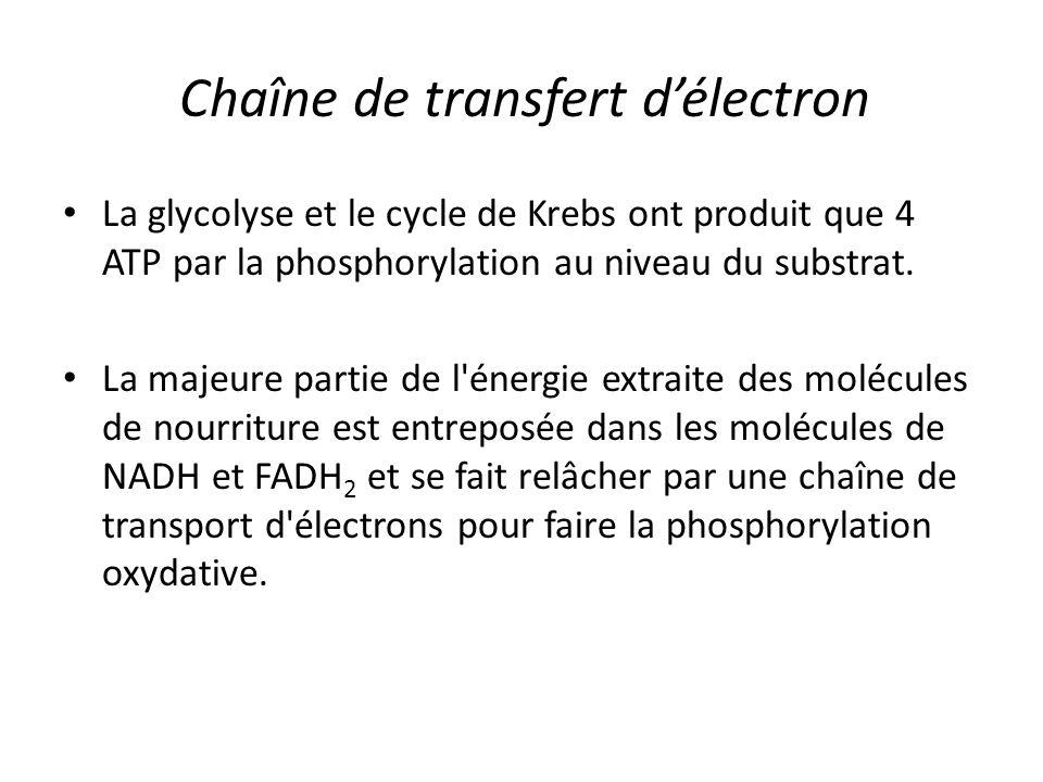 Chaîne de transfert d'électron La glycolyse et le cycle de Krebs ont produit que 4 ATP par la phosphorylation au niveau du substrat. La majeure partie