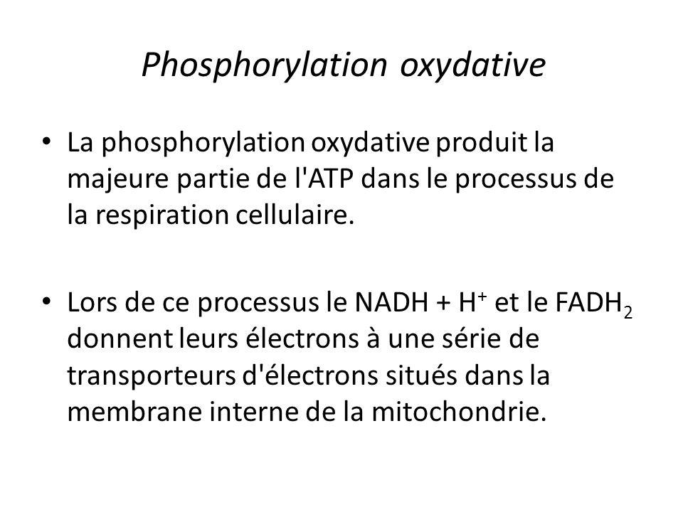 Phosphorylation oxydative La phosphorylation oxydative produit la majeure partie de l'ATP dans le processus de la respiration cellulaire. Lors de ce p
