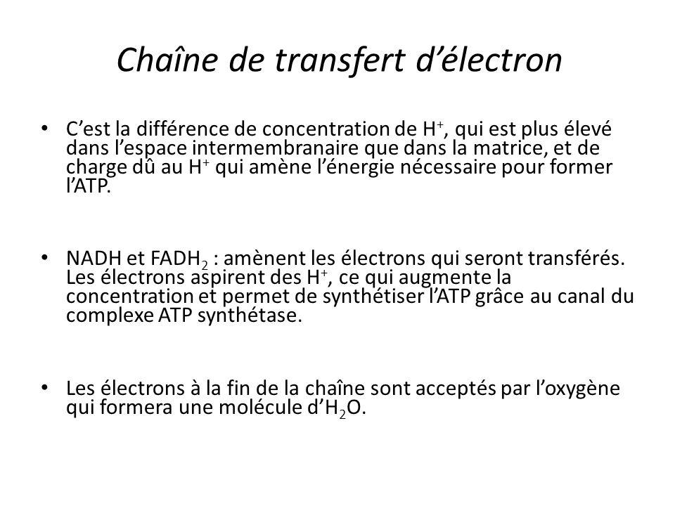 Chaîne de transfert d'électron C'est la différence de concentration de H +, qui est plus élevé dans l'espace intermembranaire que dans la matrice, et