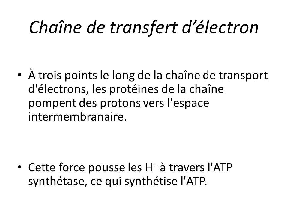 Chaîne de transfert d'électron À trois points le long de la chaîne de transport d'électrons, les protéines de la chaîne pompent des protons vers l'esp
