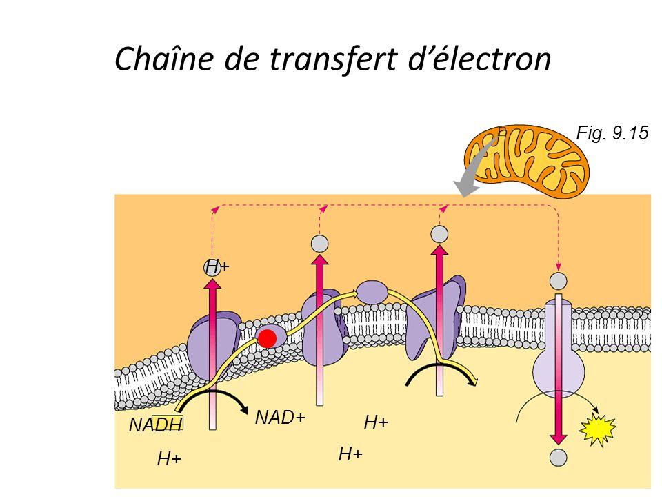 Fig. 9.15 NADH H+ NAD+ H+ Chaîne de transfert d'électron