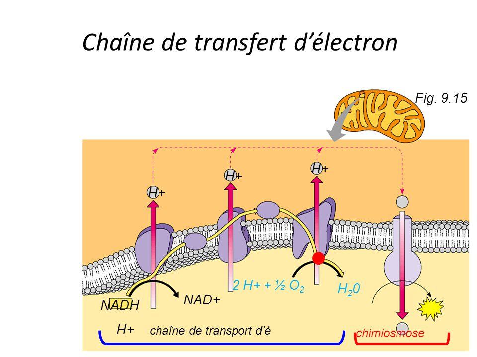 Fig. 9.15 NADH H+ NAD+ H+ 2 H+ + ½ O 2 H20H20 chaîne de transport d'é chimiosmose Chaîne de transfert d'électron