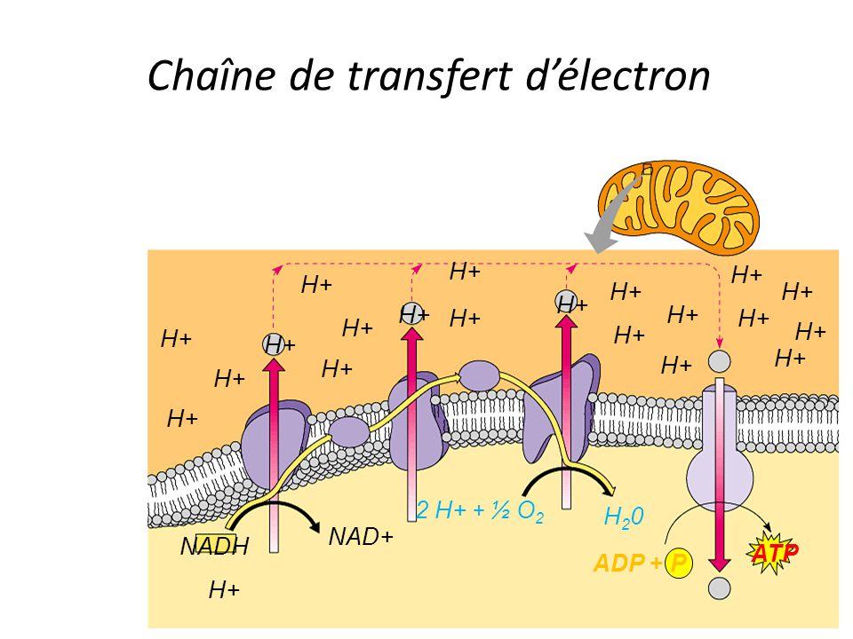 NADH H+ NAD+ H+ 2 H+ + ½ O 2 H20H20 H+ ADP + P ATP Chaîne de transfert d'électron