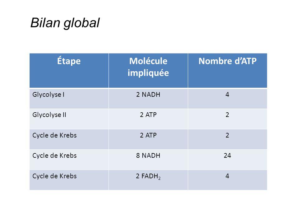 ÉtapeMolécule impliquée Nombre d'ATP Glycolyse I2 NADH4 Glycolyse II2 ATP2 Cycle de Krebs2 ATP2 Cycle de Krebs8 NADH24 Cycle de Krebs2 FADH 2 4 Bilan