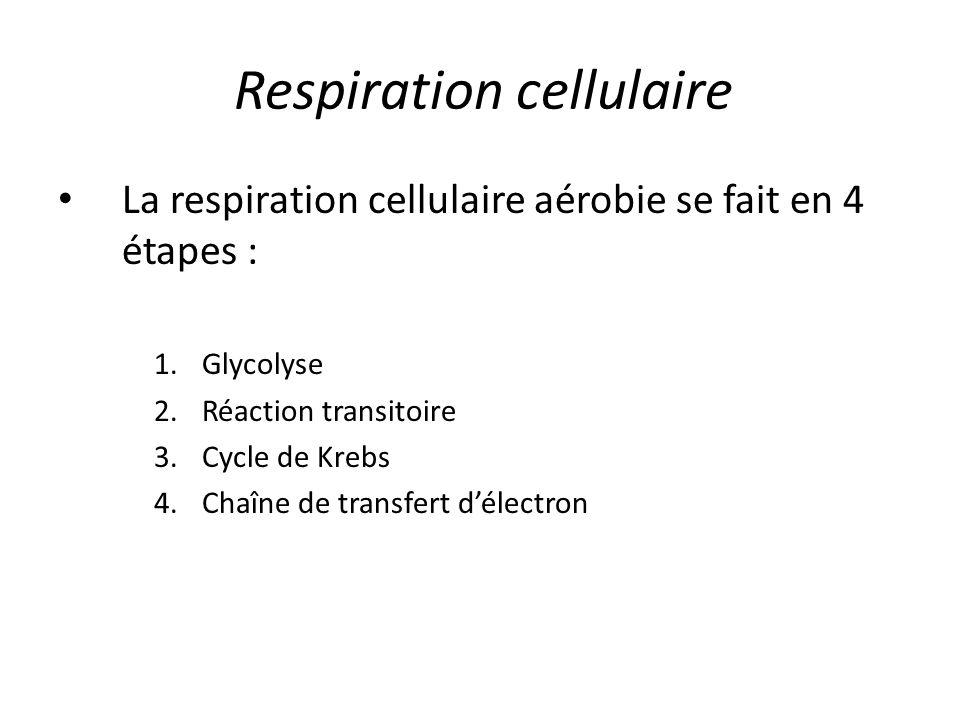 Respiration cellulaire La respiration cellulaire aérobie se fait en 4 étapes : 1.Glycolyse 2.Réaction transitoire 3.Cycle de Krebs 4.Chaîne de transfe