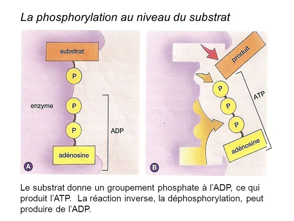 La phosphorylation au niveau du substrat Le substrat donne un groupement phosphate à l'ADP, ce qui produit l'ATP. La réaction inverse, la déphosphoryl