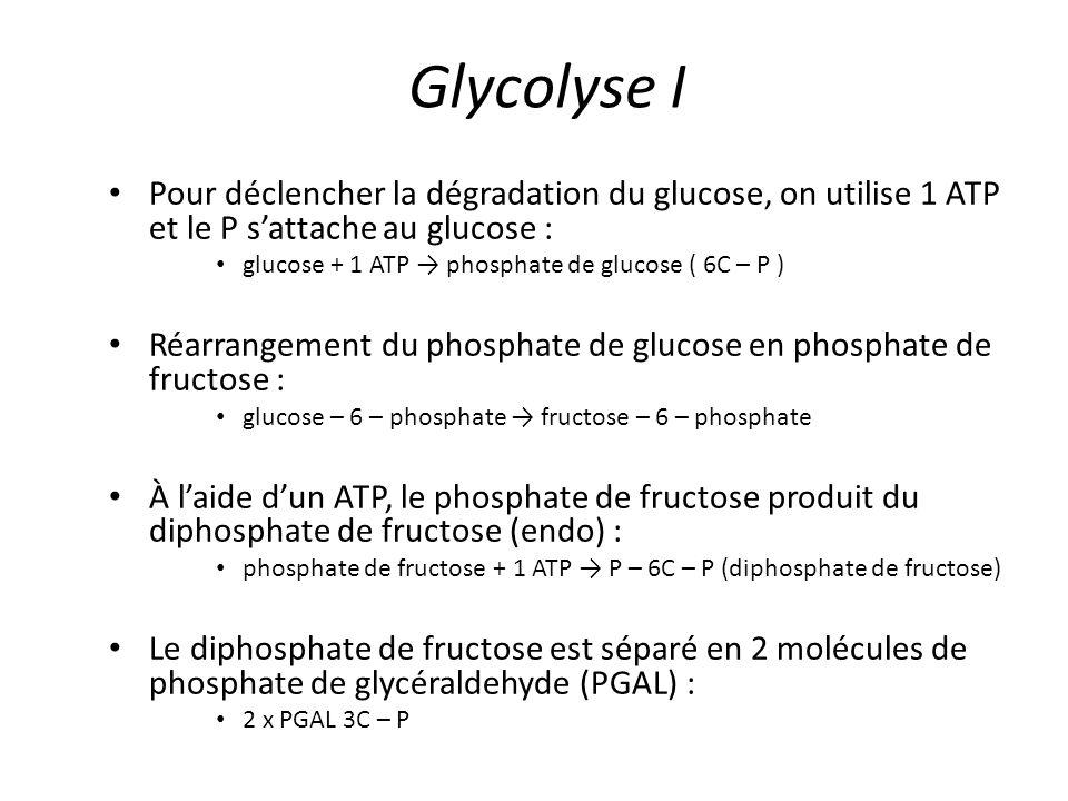Glycolyse I Pour déclencher la dégradation du glucose, on utilise 1 ATP et le P s'attache au glucose : glucose + 1 ATP → phosphate de glucose ( 6C – P