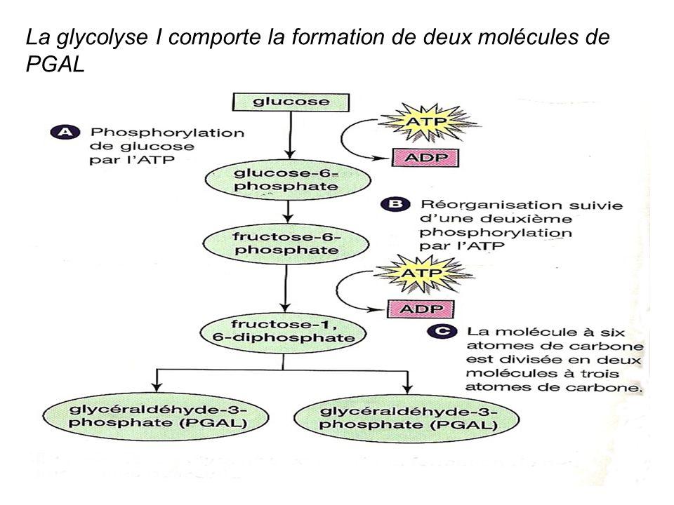 La glycolyse I comporte la formation de deux molécules de PGAL