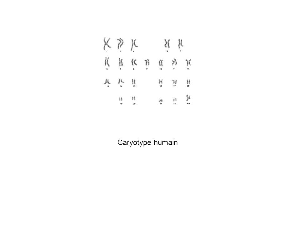 Caryotype humain
