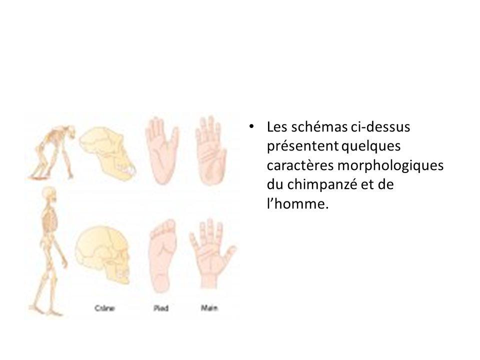 Les schémas ci-dessus présentent quelques caractères morphologiques du chimpanzé et de l'homme.