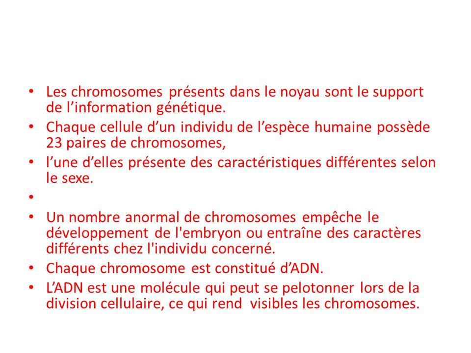 Les chromosomes présents dans le noyau sont le support de l'information génétique. Chaque cellule d'un individu de l'espèce humaine possède 23 paires