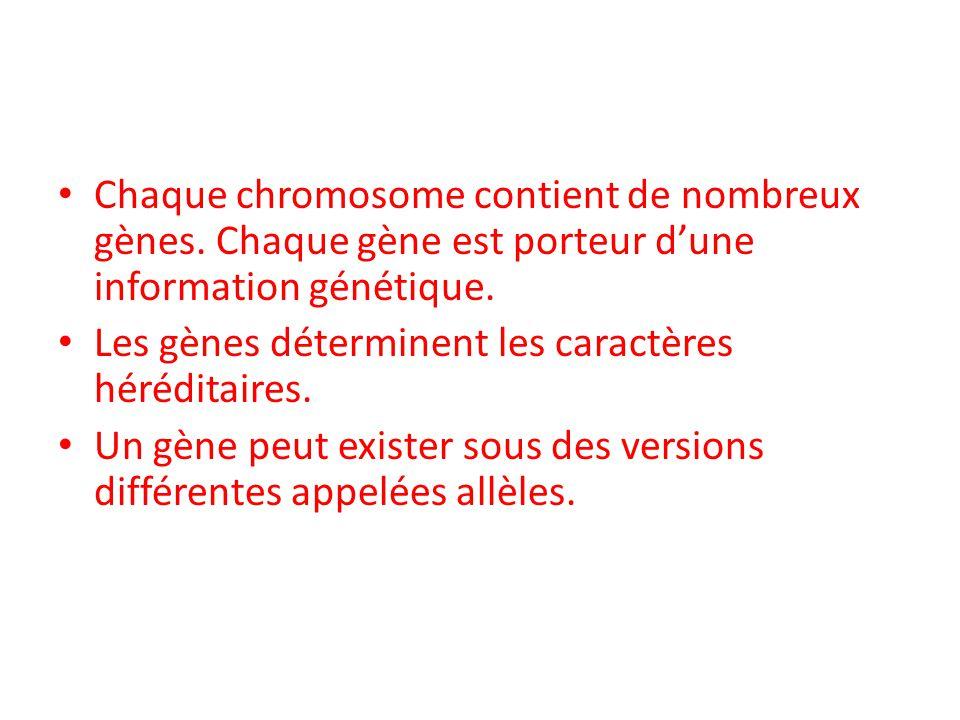 Chaque chromosome contient de nombreux gènes. Chaque gène est porteur d'une information génétique. Les gènes déterminent les caractères héréditaires.