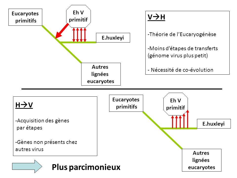 Eucaryotes primitifs Eucaryotes primitifs Autres lignées eucaryotes Autres lignées eucaryotes Eh V primitif Eh V primitif V  H -Théorie de l'Eucaryogénèse -Moins d'étapes de transferts (génome virus plus petit) - Nécessité de co-évolution H  V -Acquisition des gènes par étapes -Gènes non présents chez autres virus Plus parcimonieux