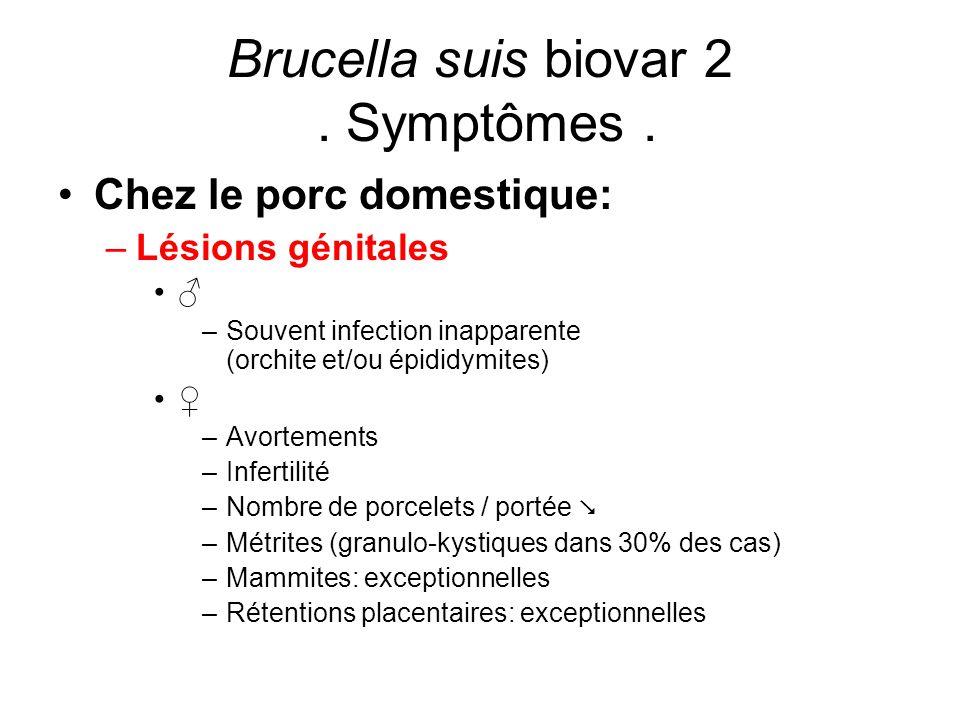 Brucella suis biovar 2. Symptômes. Chez le porc domestique: –Lésions génitales ♂ –Souvent infection inapparente (orchite et/ou épididymites) ♀ –Avorte