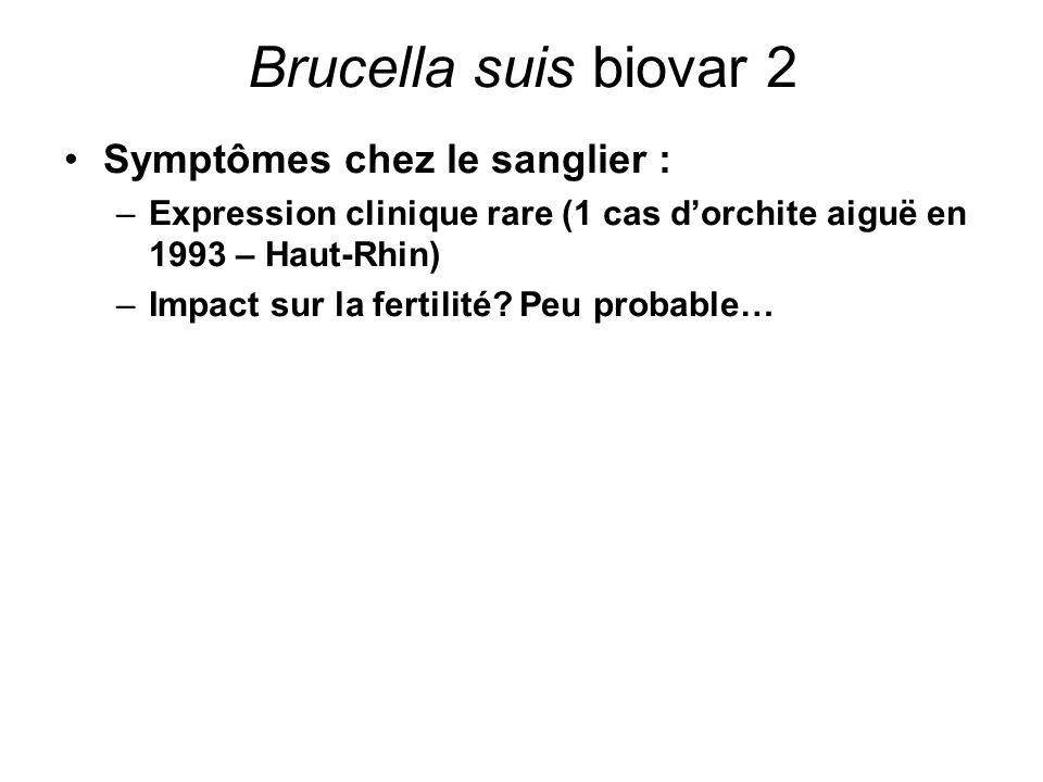 Brucella suis biovar 2 Symptômes chez le sanglier : –Expression clinique rare (1 cas d'orchite aiguë en 1993 – Haut-Rhin) –Impact sur la fertilité? Pe
