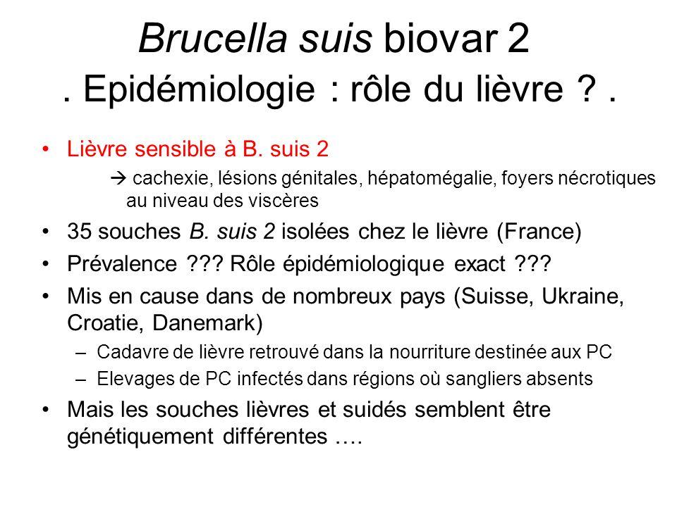 Lièvre sensible à B. suis 2  cachexie, lésions génitales, hépatomégalie, foyers nécrotiques au niveau des viscères 35 souches B. suis 2 isolées chez