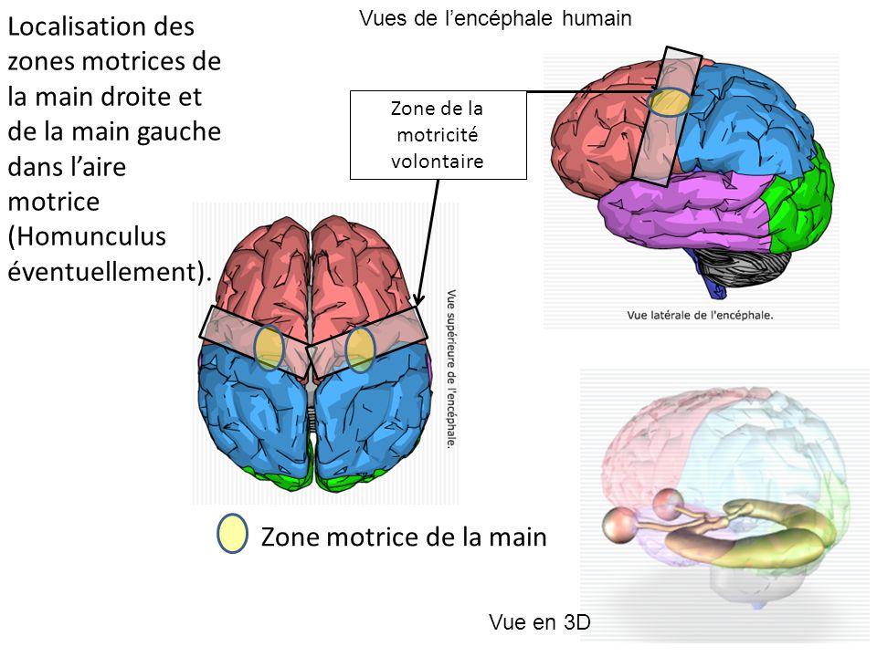 Vues de l'encéphale humain Vue en 3D Zone de la motricité volontaire Zone motrice de la main Localisation des zones motrices de la main droite et de la main gauche dans l'aire motrice (Homunculus éventuellement).