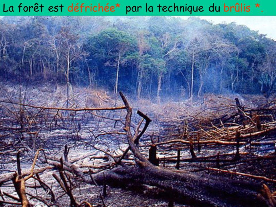 La forêt est défrichée* par la technique du brûlis *.