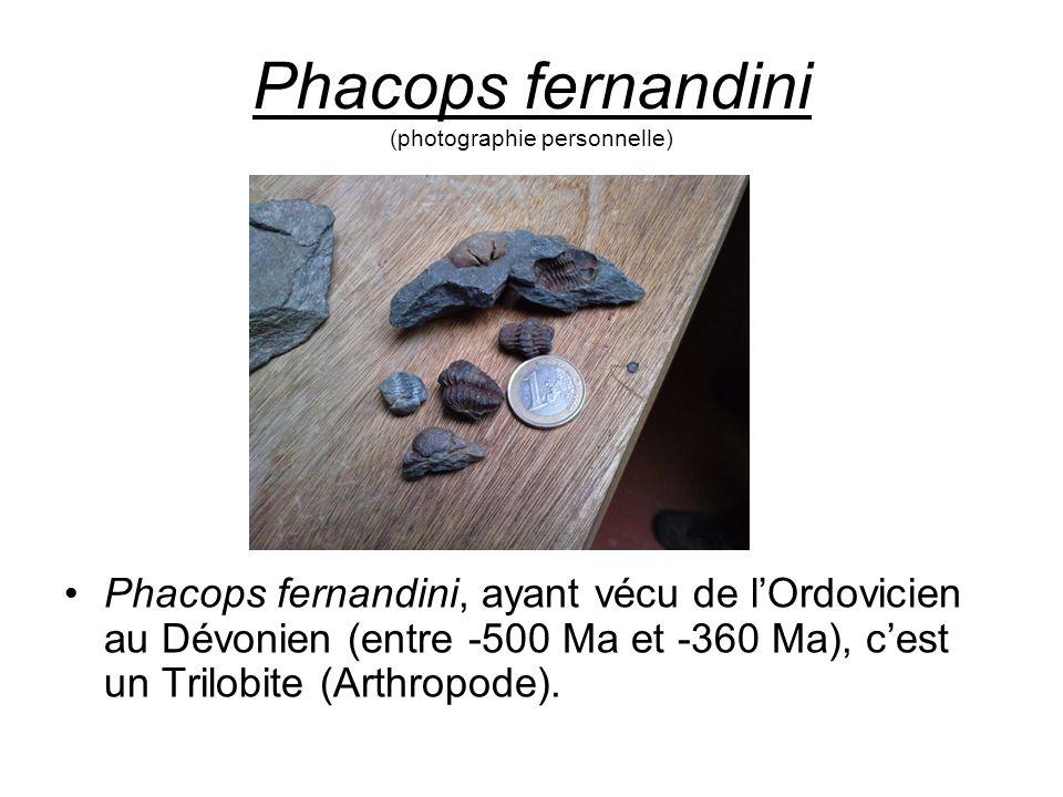 Phacops fernandini (photographie personnelle) Phacops fernandini, ayant vécu de l'Ordovicien au Dévonien (entre -500 Ma et -360 Ma), c'est un Trilobit