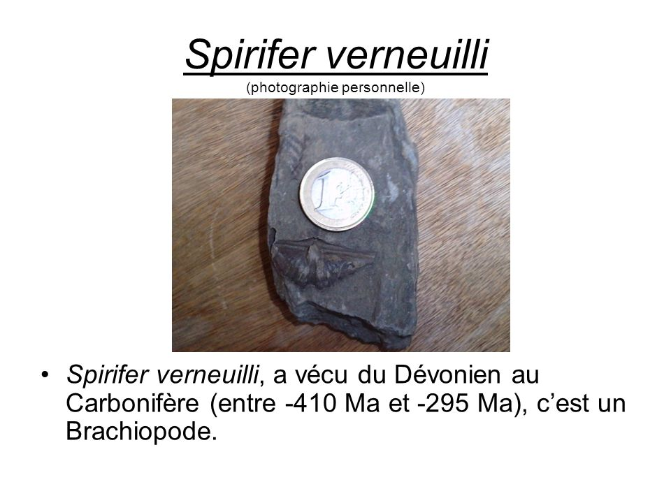 Spirifer verneuilli (photographie personnelle) Spirifer verneuilli, a vécu du Dévonien au Carbonifère (entre -410 Ma et -295 Ma), c'est un Brachiopode