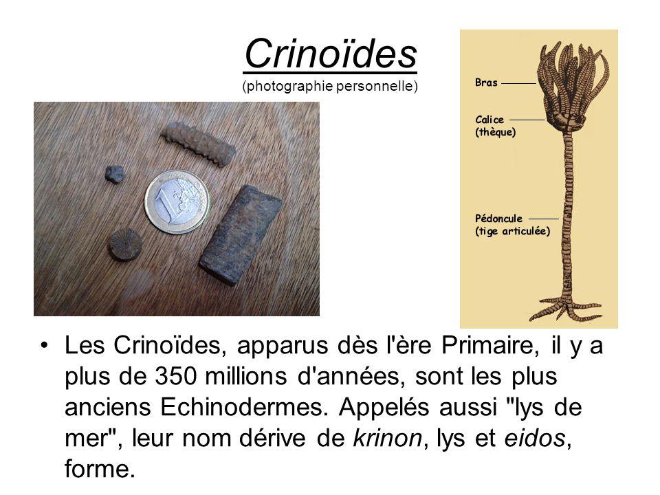 Crinoïdes (photographie personnelle) Les Crinoïdes, apparus dès l'ère Primaire, il y a plus de 350 millions d'années, sont les plus anciens Echinoderm