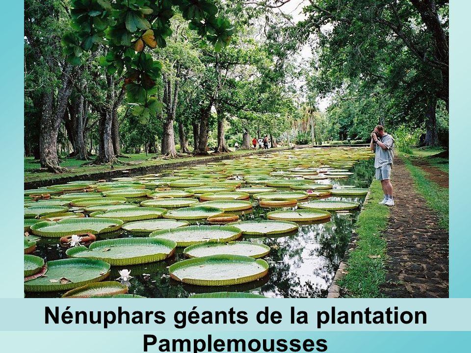 Nénuphars géants de la plantation Pamplemousses