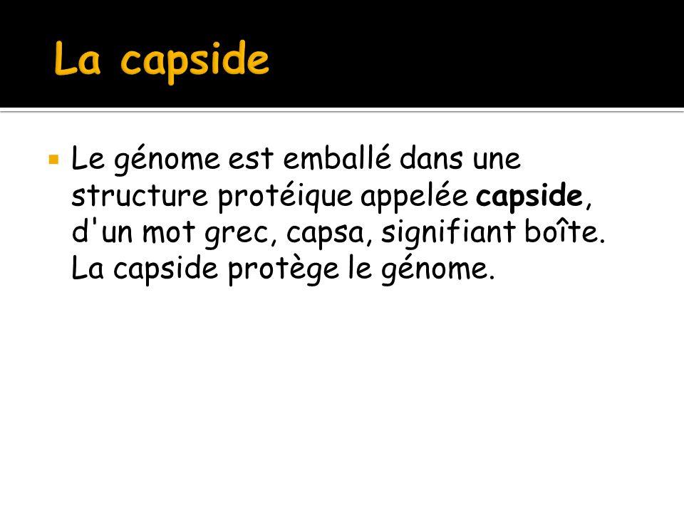  Le génome est emballé dans une structure protéique appelée capside, d'un mot grec, capsa, signifiant boîte. La capside protège le génome.
