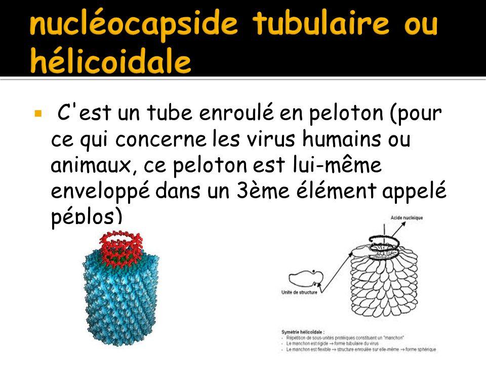  C'est un tube enroulé en peloton (pour ce qui concerne les virus humains ou animaux, ce peloton est lui-même enveloppé dans un 3ème élément appelé p