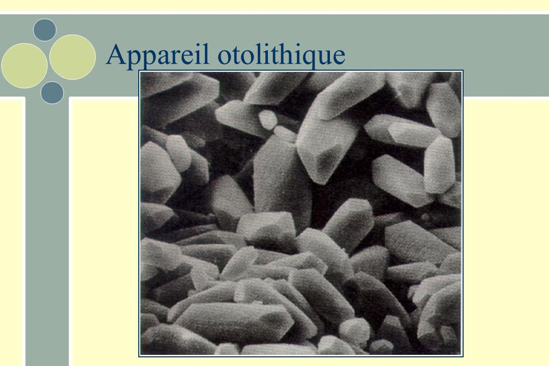 Appareil otolithique Possède également un épaississement de l'épithélium –Macula 2x Contient des cellules ciliées Les cils projettent dans une couche