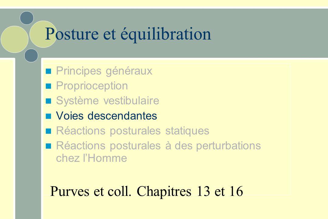 Noyau vestibulaire latéral –reçoit surtout de l 'utricule –Voie vestibulospinale latérale réflexes vestibulospinaux Motoneurones des muscles antigravi