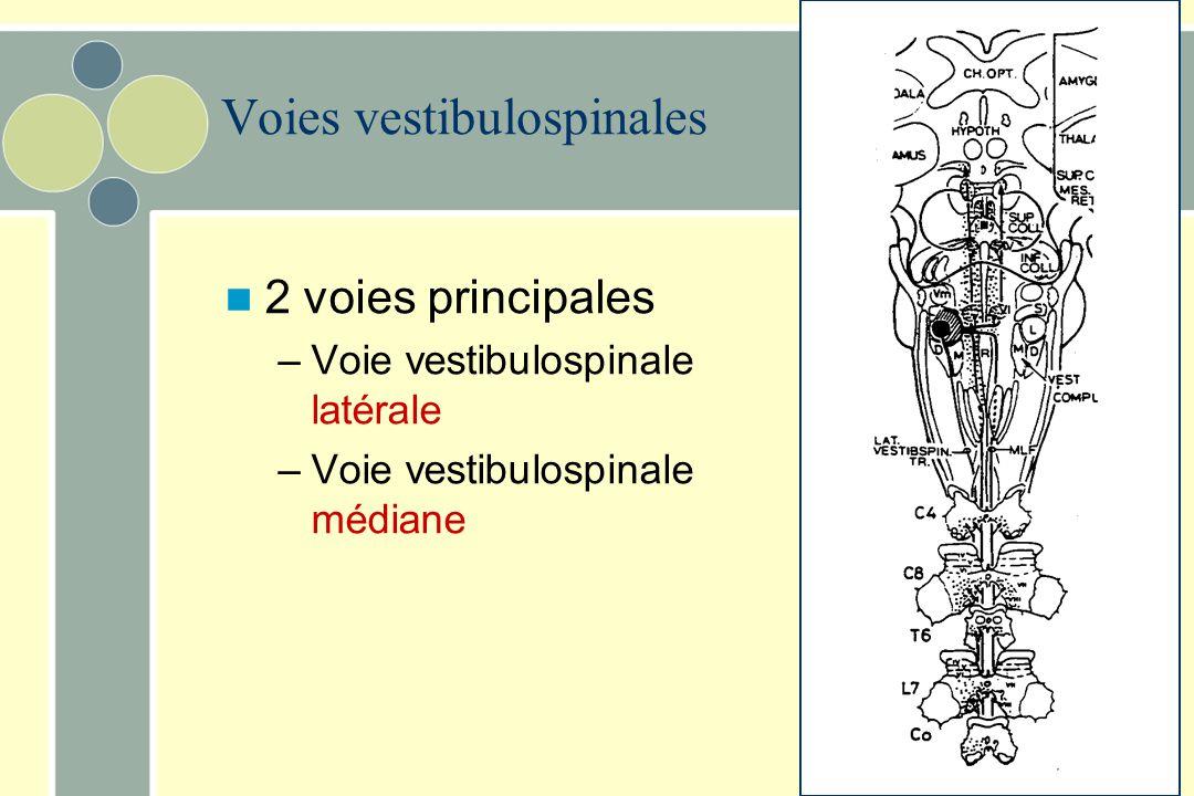 Voies vestibulospinales Proviennent des noyaux vestibulaires médians et latéraux –Contrôlent les motoneurones des muscles extenseurs (surtout axiaux e
