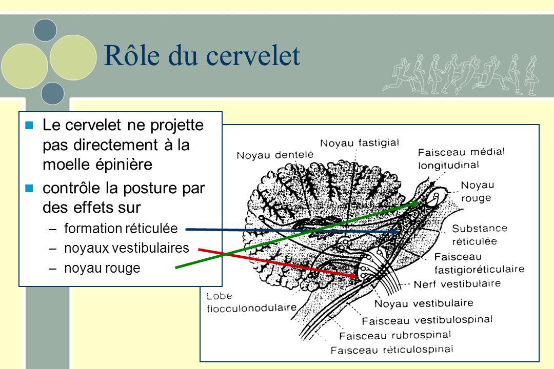 Voie vestibulospinale médiane –Origine Noyau médian, un peu du noyau descendant et un peu du noyau latéral (Deiters) –Trajectoire Bilatérale et seulem