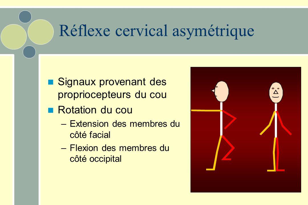 Interaction des réflexes vestibulaire et cervical Les effets des réflexes vestibulaire et cervical symétrique s'additionnent