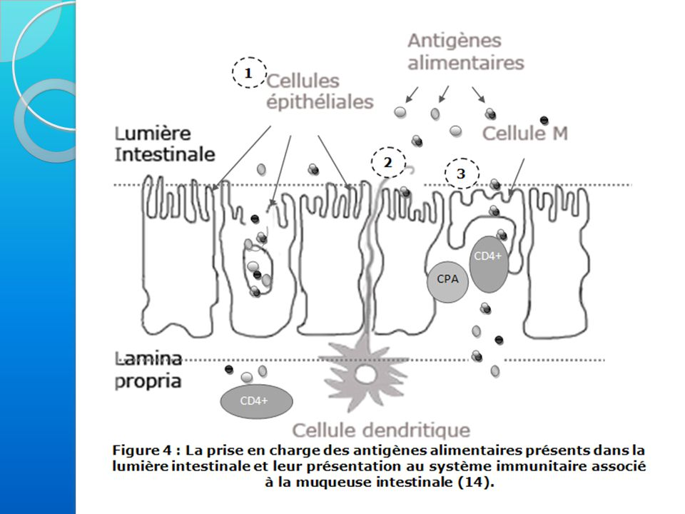 Deuxième phase : phase déclenchante Deuxième contact avec l'allergène, ou un allergène de structure voisine = allergie croisée Reconnu par les IgE fixées sur les récepteurs membranaires des mastocytes et des basophiles Pontage de l'allergène par deux IgE voisines présentes à la surface membranaire
