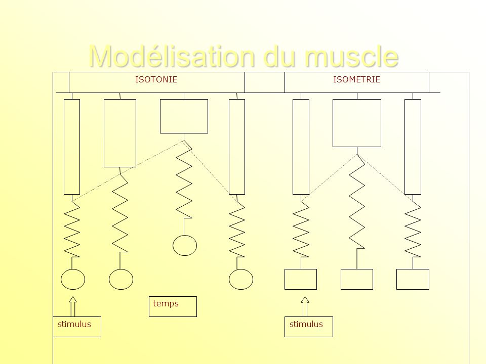 Modélisation du muscle stimulus temps stimulus ISOTONIEISOMETRIE