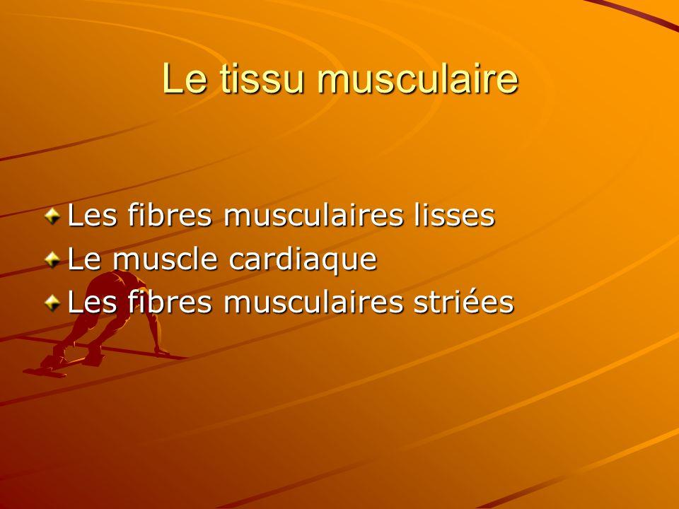 Le tissu musculaire Les fibres musculaires lisses Le muscle cardiaque Les fibres musculaires striées