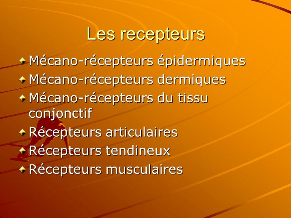 Les recepteurs Mécano-récepteurs épidermiques Mécano-récepteurs dermiques Mécano-récepteurs du tissu conjonctif Récepteurs articulaires Récepteurs ten