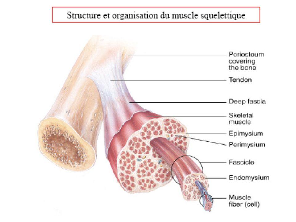 Travail en chaîne musculaire Ouvertefermée
