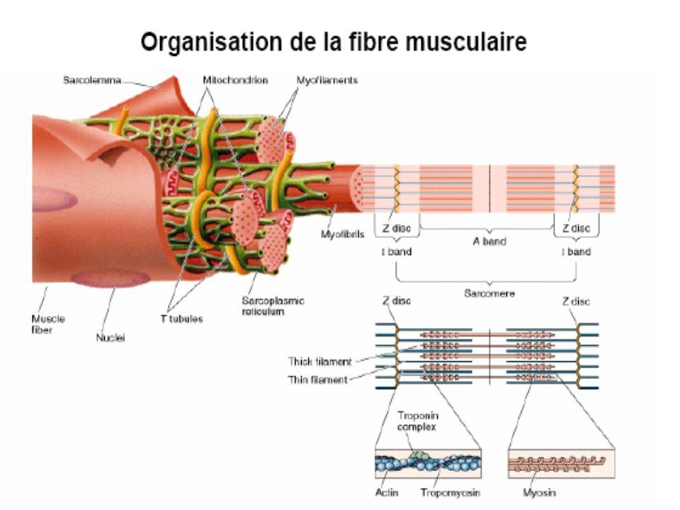 Récupération musculaire A l'effort Apres l'effort MyoglobineATPPhosphocréatine