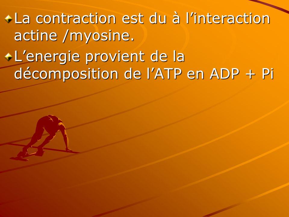 La contraction est du à l'interaction actine /myosine. L'energie provient de la décomposition de l'ATP en ADP + Pi