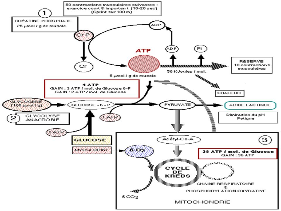 Synthèse de l'ATP Anaérobie alactique ADP + créatine phosphate = ATP + créatine Anaérobie lactique ADP + glycogène = ATP + acide lactique Aérobie ADP + glucose + O² = ATP + CO²