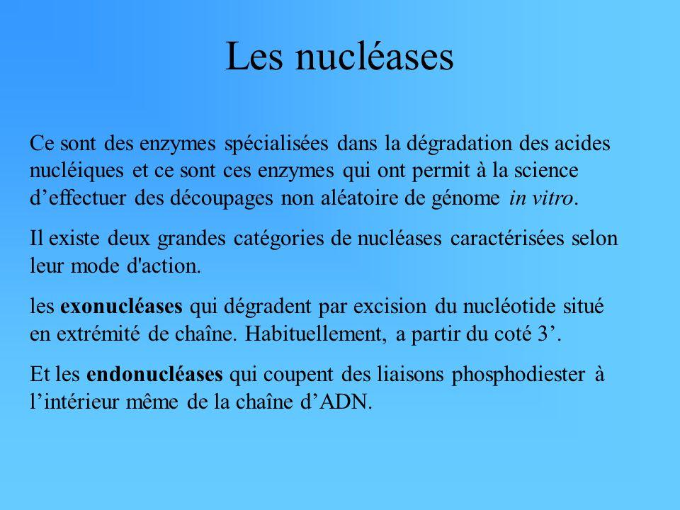 Les nucléases Ce sont des enzymes spécialisées dans la dégradation des acides nucléiques et ce sont ces enzymes qui ont permit à la science d'effectue