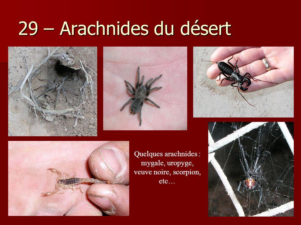 29 – Arachnides du désert Iule… Uropyge…Quelques arachnides : mygale, uropyge, veuve noire, scorpion, etc…