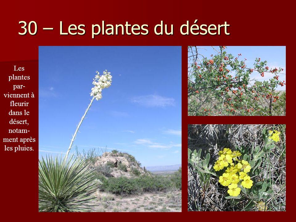 30 – Les plantes du désert Les plantes par- viennent à fleurir dans le désert, notam- ment après les pluies.