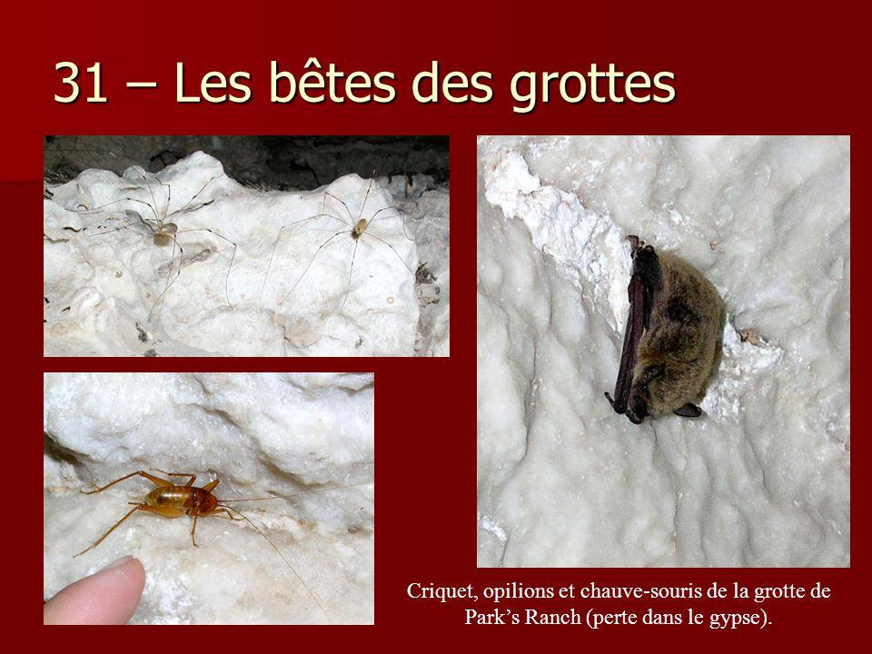 31 – Les bêtes des grottes Criquet, opilions et chauve-souris de la grotte de Park's Ranch (perte dans le gypse).