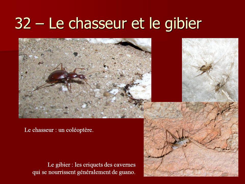 32 – Le chasseur et le gibier Le gibier : les criquets des cavernes qui se nourrissent généralement de guano. Le chasseur : un coléoptère.